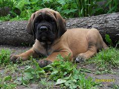 English Mastiff puppy is 2 months