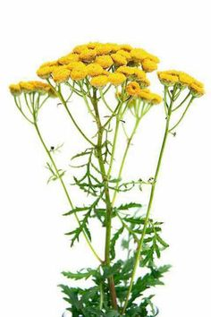 Outstanding Natural home remedies detail are readily available on our website. Check it out and you wont be sorry you did. Outstanding Natural home remedies detail are readily available on our website. Check it out and you wont be sorry you did. Home Remedies For Colds For Babies, Home Remedies For Spiders, Home Remedies For Uti, Natural Health Remedies, Herbal Remedies, Geraniums, Health And Beauty, Herbalism, Techno