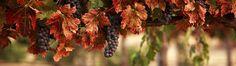 Gardening Tips and Tricks to make your fruit and vegetables fun to grow. Baja California, Pinot Noir Taste, Grape Wallpaper, Napa Wine Tours, Fruits Photos, 1080p, Napa Valley Wine, Fruit Of The Spirit, Gardens