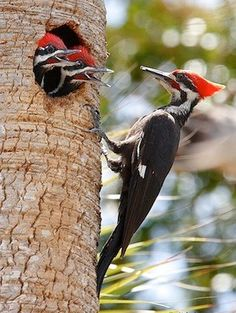Pileated Woodpecker - Adult male with young - by Aida Villaronga, Everglades, Florida