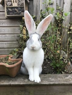 Oh my goodness.look at those great big ears ! Big Bunny, Cute Bunny, Bunny Rabbit, Animals And Pets, Baby Animals, Funny Animals, Cute Animals, Beautiful Creatures, Animals Beautiful
