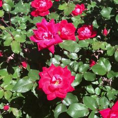 My knock roses, red