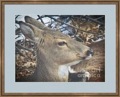 Winter Fawn Resting Framed Print By Shelly Weingart