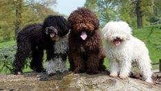 Spanish Water Dogs, Photographed by Nick Ridley Newly-sanctioned breed by the American Kennel Club Medium Sized Dogs Breeds, Pet Dogs, Dogs And Puppies, Doggies, Spanish Water Dog, Irish Water Spaniel, Portuguese Water Dog, Loyal Dogs, Puppy Care