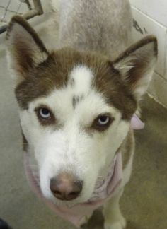 #MICHIGAN ~ Daisy is a Husky mix - I just got new photos b/c when I arrived at the shelter, I had a litter of puppies. Now all the pups have found homes & its my turn to find a forever home. I've a new healthy coat & lots of love to give - so Please come & give me the home I have been hoping for. I'm in need of a loving #adopter / #rescue at BENZIE COUNTY ANIMAL CONTROL  543 S Michigan Ave  #Beulah MI 49617 aco@benzieco.net Ph 231-882-9505