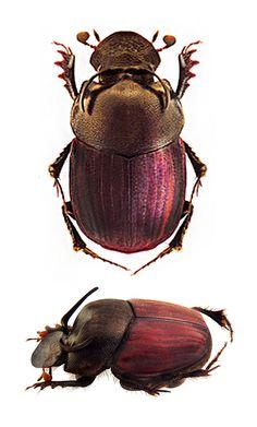 Onthophagus rubriferris