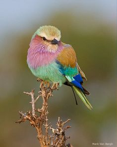 lilac-breasted roller by Mark Van Bergh - oh if we could mist the birds - they… Kinds Of Birds, All Birds, Little Birds, Love Birds, Pretty Birds, Beautiful Birds, Animals Beautiful, Exotic Birds, Colorful Birds