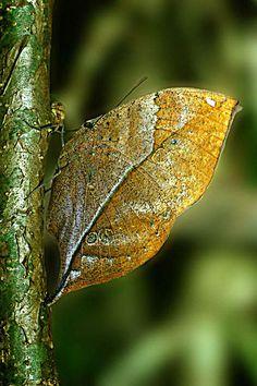 Blue oakleaf Butterfly Photo