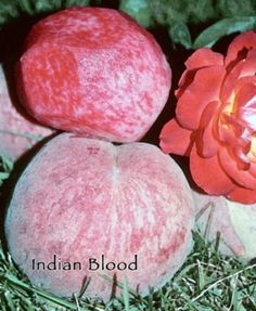 hindu single women in peach orchard Family fun begins at miller's big red apple orchard, greenhouses and cider mill, the oldest u-pick apple orchard in washington twp, michigan we offer a variety of u-pick fruits including apples, pumpkins, raspberries and strawberries.