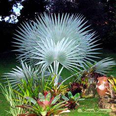 Palmeira Azul - Brasil Resultados da pesquisa de http://www.portaldaspalmeiras.com.br/especies/palmeira-azul.jpg no Google