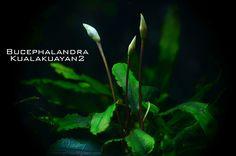 Bucephalandra é um gênero maravilhoso e uma planta ainda relativamente difícil de se encontrar, mas que cativa muitos aquaristas de todo o mundo graças à sua aparência majestosa.