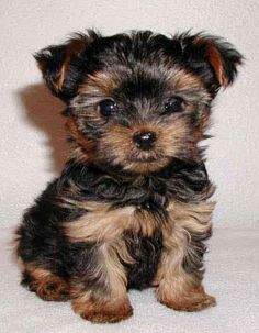 yorkie pup, too cute and tiny