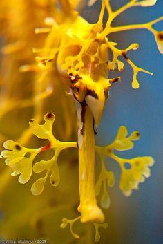 Phycodurus by WilliamBullimore #seadragon #yellow http://www.americanaquariumproducts.com/