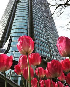 2週間ぶりですがみなさまいかがお過ごしですかお花見いきましたかまだまだ春って感じるにははださむいでしょうかねσ(_;) #チューリップ #春 #花 by akira_sas