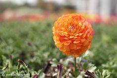 orange persian buttercup - bridal bouquet flower