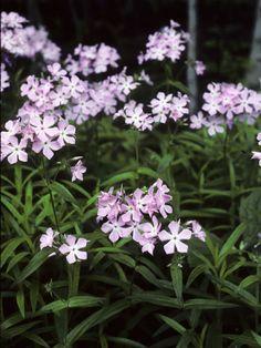 Phlox pilosa  (Downy phlox, Prairie phlox, Fragrant phlox)  Light:Sun,Part Sun  Zones:4-8  Plant Type:Perennial  Plant Height:8-48 inches tall, depending on variety  Plant Width:6-36 inches wide, depending on variety