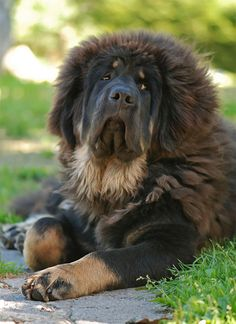 Tibetan Mastiff - I cant believe our tucker is part Tibetan.What a difference part lab makes!
