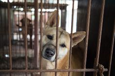 Join me in becoming an HSI Street Dog Defender and help to fight the horrific dog meat trade.
