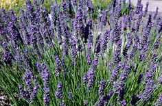Lavandula intermedia Grosso - an evergreen shrub to tall, with narrow, grey-green foliage and long-stemmed, very aromatic, deep bluish-purple flower heads in summer. Dry Garden, Garden Plants, Lavender Flowers, Purple Flowers, Lavender Varieties, Butterfly Plants, Orchid Show, Planting Plan, Lavandula Angustifolia