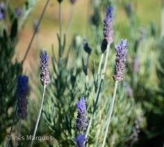 Lavender vibes. Nature beauty. Plants and flowers. Wall decor. House decor. Nature print.