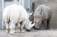 Rinoceronte albino. Animales albinos.