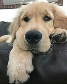 Astonishing Everything You Ever Wanted to Know about Golden Retrievers Ideas. Glorious Everything You Ever Wanted to Know about Golden Retrievers Ideas. Cute Baby Animals, Animals And Pets, Funny Animals, Nature Animals, Wild Animals, Cute Puppies, Dogs And Puppies, Cute Dogs, Doggies