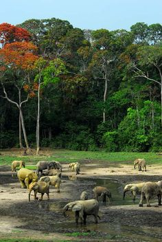 Amazing photos of Forest Elephants in Central African Republic