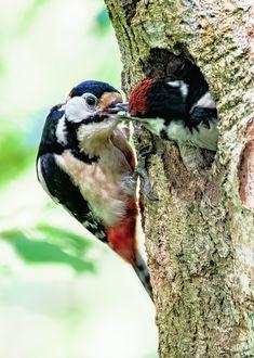 Spotted Woodpecker, Bird Nests, Wildlife, Birds, Gardening, Nature, Naturaleza, Lawn And Garden, Bird