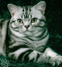 Handsome American Shorthair/Silver Tabby