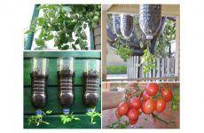 Produza os seus tomates em casa apenas com uma garrafa de 2 litros