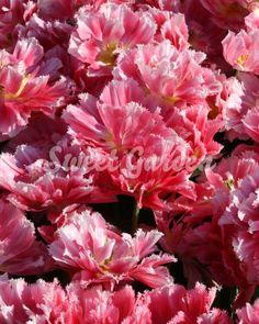 Lalele Peach Blossom   Sweet Garden Peach Blossoms, Rose, Sweet, Garden, Flowers, Plants, Candy, Pink, Garten