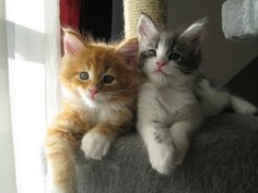 Maine Coon Kittens | by WhiteWhiskersMC