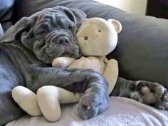 Neopolitan Mastiff hugging a teddy bear.