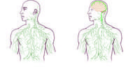 Map of the lymphatic system: traditional (left) and as redrawn by UVA's discovery: Missing link found between brain, immune system -- with profound disease implications