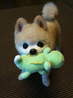 We bet if this #puppy loves to #chew we have the best additional #pet #product. Go to our #bionic website at www.bionicplay.com