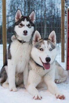 Two lovely siberian huskies!