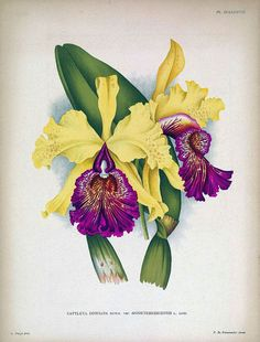 antique french botanical print tropical flower purple and yellow orchid…