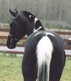 Beautiful black and white pinto All The Pretty Horses, Beautiful Horses, Animals Beautiful, Cute Animals, Zebras, Cheval Pie, All About Horses, Majestic Horse, Horses And Dogs