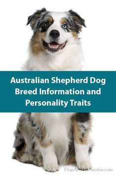 Australian Shepherd Breed Information Australian Shepherd Dogs