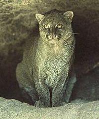 Przedstawiciel rodzaju – jaguarundi amerykański (P. yaguarondi)