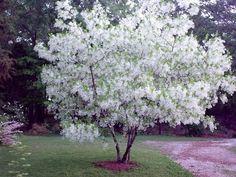 Fringetree (Chionanthus virginicus)