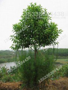 14 Best Sandalwood Tree images | Essential oils, Indian sandalwood