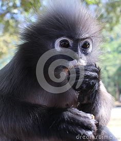 Close up of langur primate monkey eating while keeping an eye out for threats and visitors. These langurs run wild along the shore of Southern Thailand, taking refuge in nearby mountain sanctuaries.