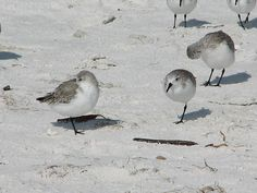 Sandpippers on the white sandy beach