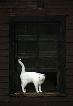 White Cat in a Black Window.                What a great contrast.