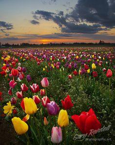 A Tulip Twilight by Gary Randall, via Flickr