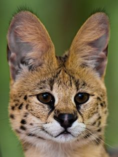 The Serval is a medium-sized African wild cat with large ears. It may soon become threatened with extinction in Africa because it is hunted for its pelt | Photography by Sonja Pauen