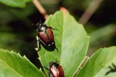 Japanese beetles can wreak havoc on plants. Grow repellent plants in your garden near the infestation site. Plants such as catnip, chives, garlic, tansy and rue are said to be repellents for Japanese beetles. Larkspur and four-o'-clocks will attract the b