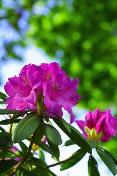 'Rhododendron' von Tanja Riedel bei artflakes.com als Poster oder Kunstdruck $18.02