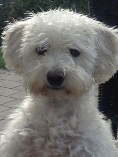 Coming to our family in August! A white Schnoodle :)